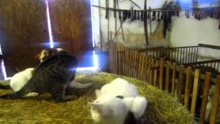 Video Dog fight against cats in Salas Krajinka download MP3, 3GP, MP4, WEBM, AVI, FLV November 2017