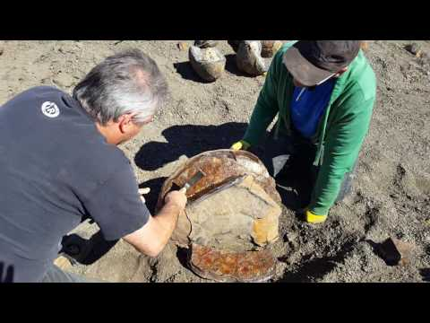 Cracking a great fossil Ammonite open