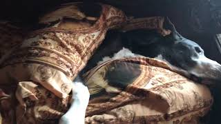 Comfy Great Dane Doesn't Want to Get Out Of Bed