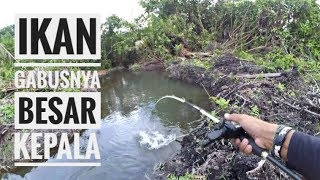 Download Video Strike ikan gabus aneh || casting snakehead || sambaran bertubitubi || mancing mania || mengkawak MP3 3GP MP4