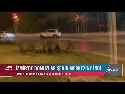 İZMİR'DE DOMUZLAR ŞEHİR MERKEZİNE İNDİ
