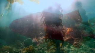 The Kelp Forests of Catalina Island