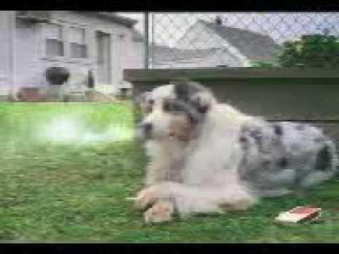 Anjing Patah Hati
