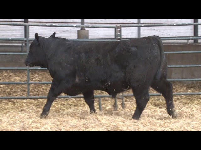 Schiefelbein Angus Farms Lot 376