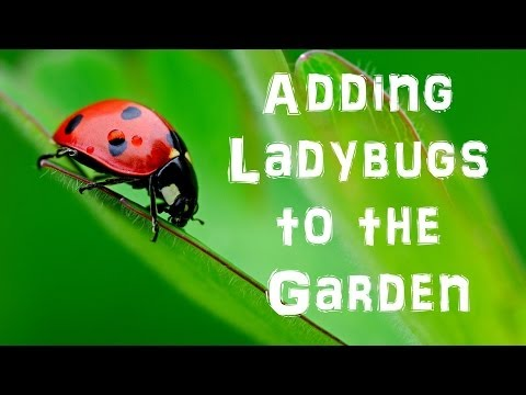 Adding Ladybugs to the Garden