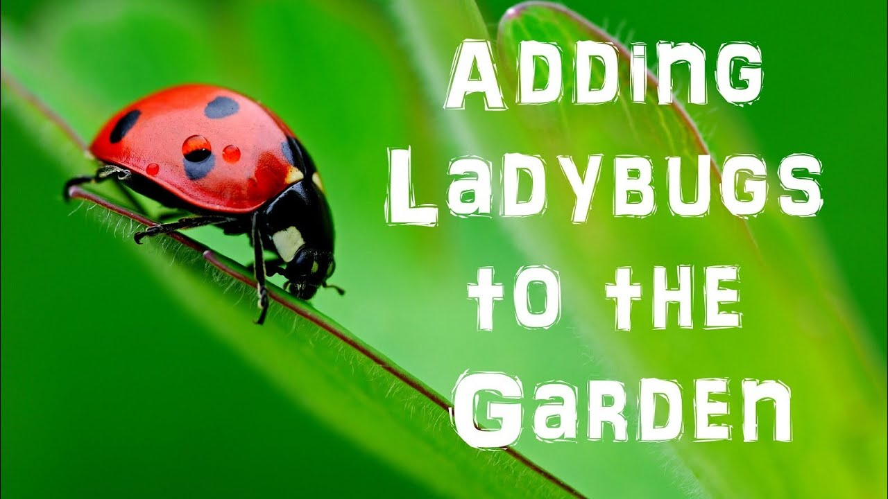 Good vs  Bad Ladybugs in Your Garden and How to Tell the