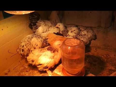кокцидиоз у цыплят, его симптомы и лечение/