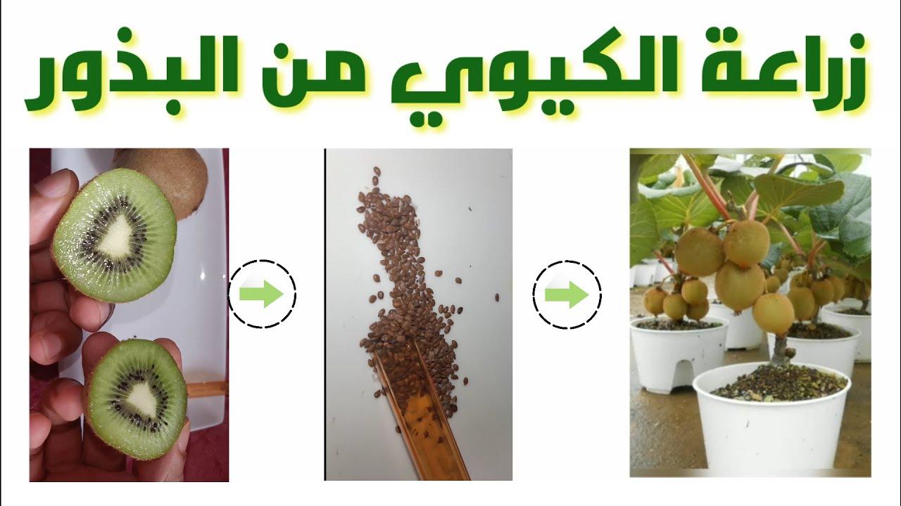 زراعة الكيوي من البذور في المنزل | شجيرة كيوي Kiwi |