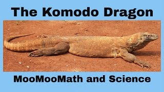 Komodo Dragon-Worlds Largest Lizard