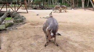 カランビンワイルドライフサンクチュアリー・野生動物公園のカンガルー...