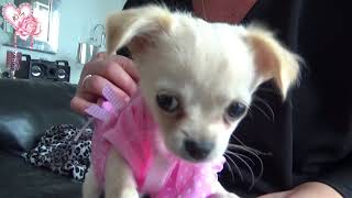 Lilly Rose chihuahua : Mes habits
