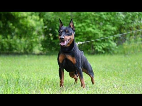 Вопрос: Порода собак карликовый пинчер, что можете сказать о ней?
