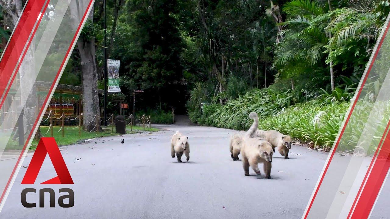 Coatimundis roam SG zoo freely