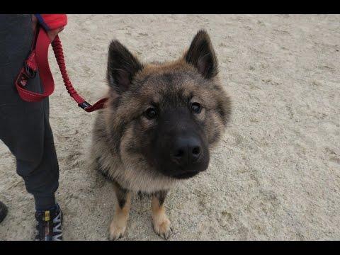 Raffi - Eurasier - 3 Week Residential Dog Training at Adolescent Dogs