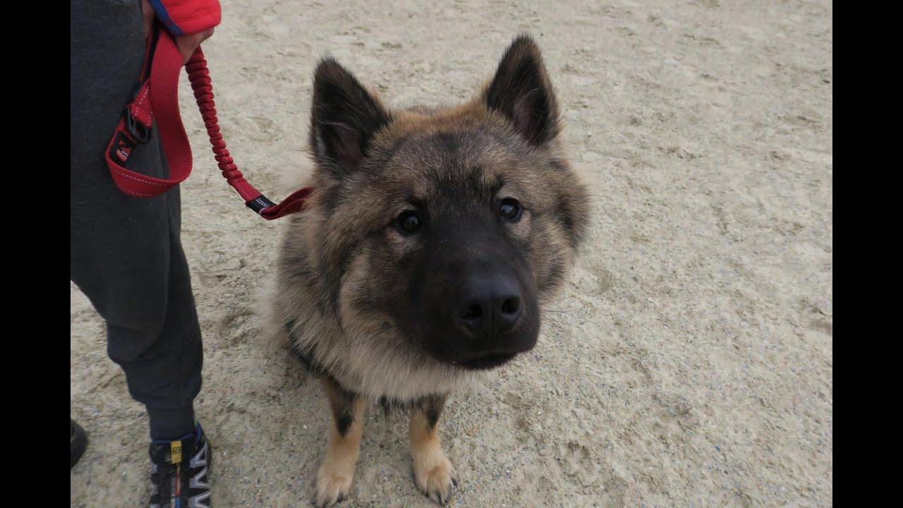 Raffi - Eurasier - 3 Week Residential Dog Training at