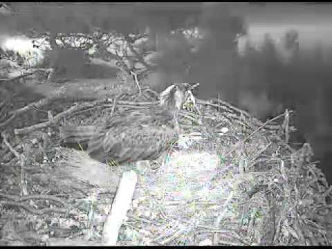 Loch of the Lowes webcam   Scottish Wildlife Trust3 flv COPYRIGHT SWT