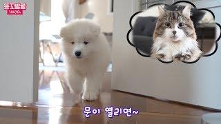 놀숲고양이를 오빠라고 생각하는 아기 사모예드 Samoyed Puppy is in Love with Norwegian Forest Cat