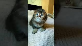 Шотландские вислоухие длинношерстные котята питомник Melody Soul купить