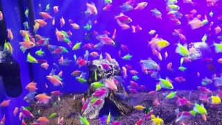 GloFish (Флуоресцентные рыбки)
