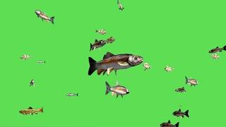Fish Swim Green Screen Video - 3D Animation
