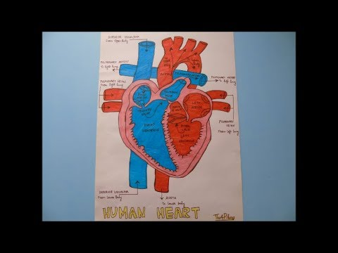 HOW TO DRAW HUMAN HEART ANATOMY | EASY STEP BY STEP ...