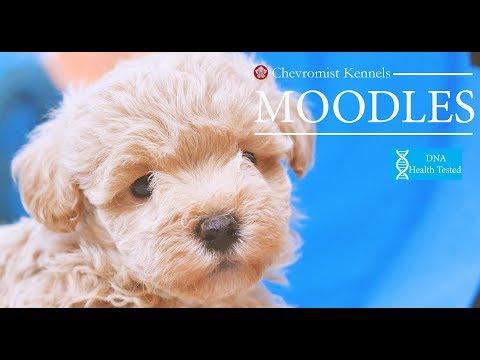 Moodle Puppies 6 weeks old