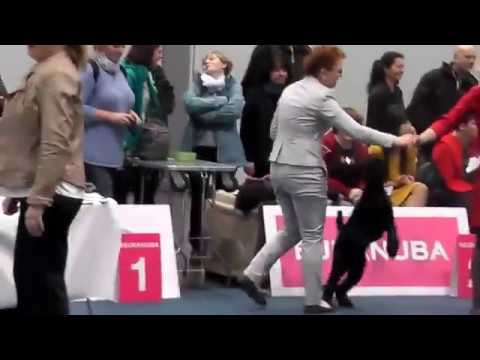 Schnauzer Black - World Dog Show 2017, Leipzig - Champion Class  Males