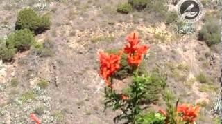Пение диких канареек на Канарских островах