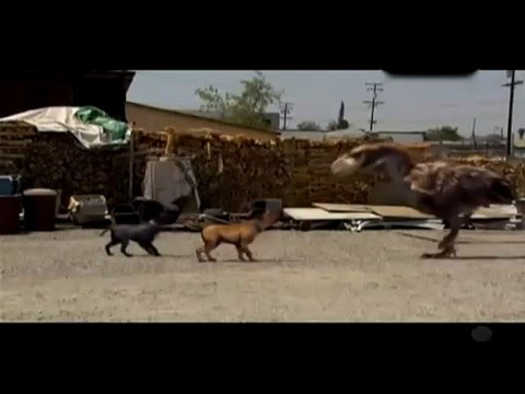 Ave del terror (terror bird) vs bully dog (pitbull)