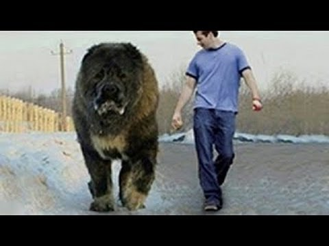 worlds largest wolf ever recorded
