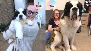 Saint Bernard Puppy growing up Timelapse  St Bernard dog | Saint Bernard Puppy to Adult