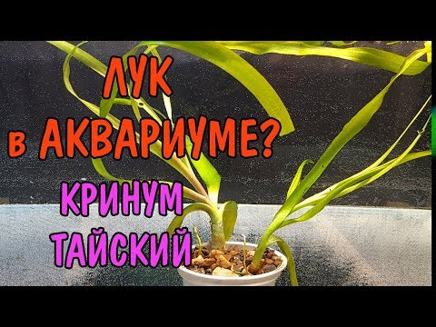 ЛУК В АКВАРИУМЕ? КРИНУМ ТАЙСКИЙ. Crinium thaianum
