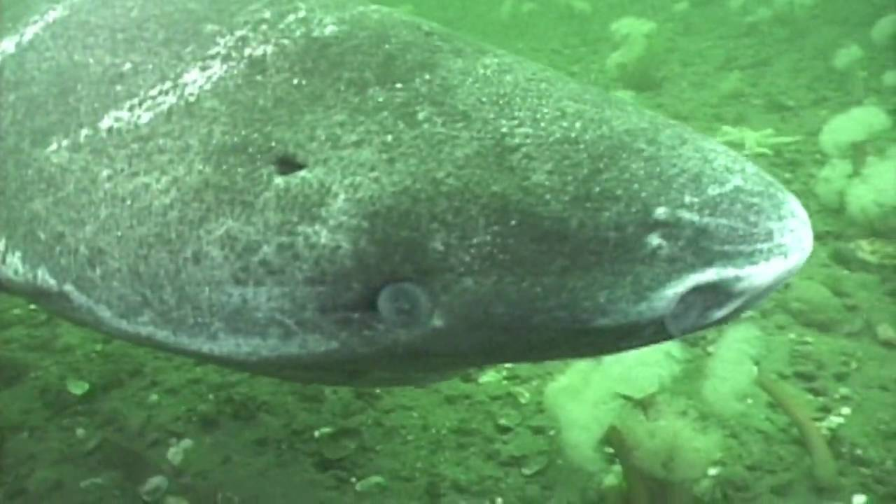 the creature feature 10 fun facts about the greenland shark
