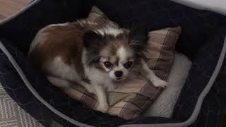 Чихуахуа/Длинношерстная собака чивава/маленькая собака