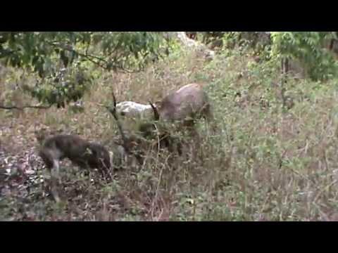rusa deer hunting new caledonia 2012