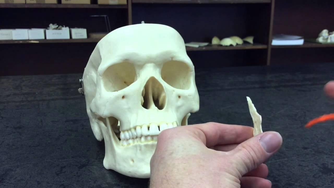 Skull Vomer Bone Youtube