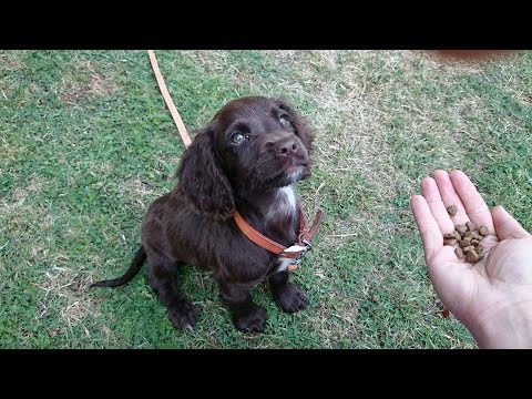 Tusker Sprocker Spaniel Puppy 3 Week Residential Dog Training At Adolescent Dogs
