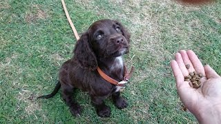 Tusker - Sprocker Spaniel Puppy - 3 Week Residential Dog Training At Adolescent Dogs