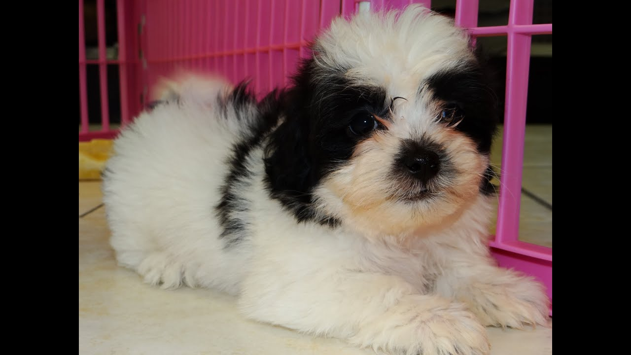 Teddy Bear, Puppies, Dogs, For Sale, In Phoenix, Arizona ...