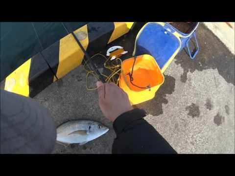 三浦半島・城ヶ島岸壁でシマアジが釣れちゃった!