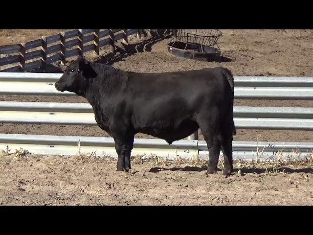 Connealy Angus Lot 104