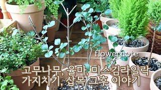 미스김라일락, 고무나무, 율마 가지치기와 삽목 그후 몇달간의 기록/ 오렌지자스민 파종후 발아성공했어요