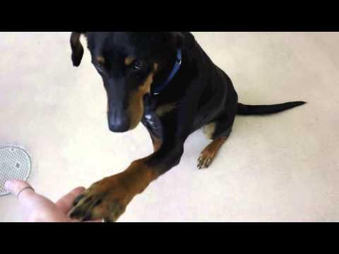 Brutus a 1 year old Doberman Pinscher:Rottweiler mix available for adoption at the Wisconsin Humane
