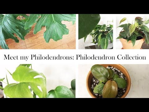 Meet my Philodendrons: 2019 Philodendron Collection