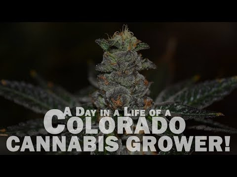 A Day in a Life of a Colorado CANNABIS GROWER!