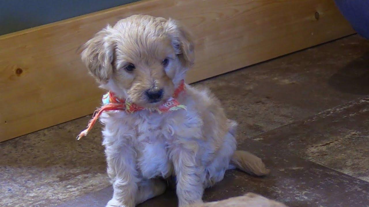 Dakotahs F1b Mini Goldendoodle Puppies On 3152019