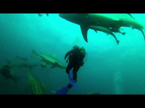 Aliwal Oceanic Black Tip Shark Dive