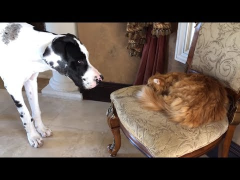 Sleepy cat totally ignores barking Great Dane