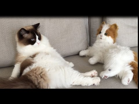Timo The Ragdoll Cat Meets Fur Real Kitten