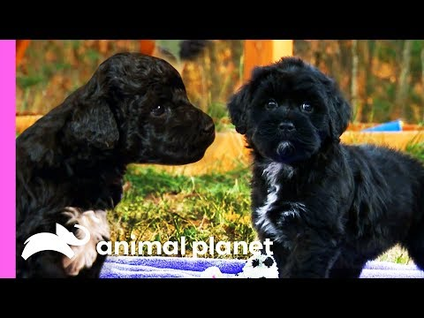 Portuguese Water Dog Puppies Nervously Take Their First Bath! | Too Cute!